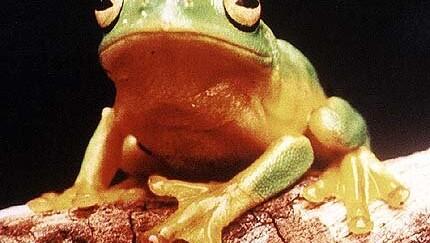 Зачем лягушка высовывает голову над поверхностью воды?